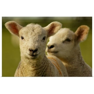 """""""Close up of lambs in field."""" Poster Print"""