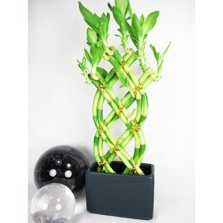 9GreenBox - Lucky 'Bamboo' Braided Style with Black Vase