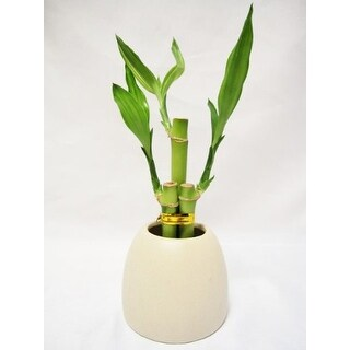 9GreenBox - Lucky 'Bamboo' w/ White Ceramic Pot