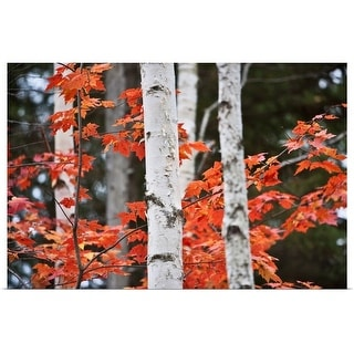 """""""Birch trees and Red Maple Leaves"""" Poster Print"""
