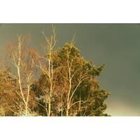 White Birch Trees Photograph Wall Art Canvas