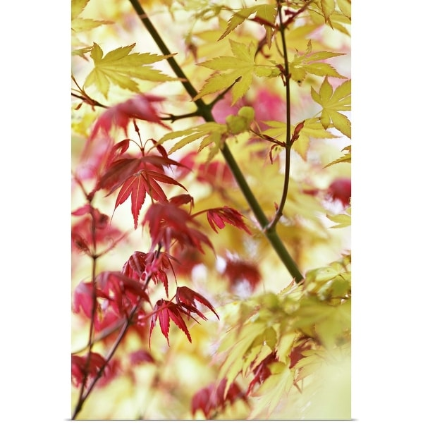 """""""Close-up of Two Acer, red and orange leaves"""" Poster Print"""