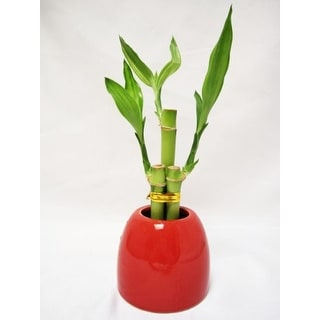 9GreenBox - Lucky 'Bamboo' w/ Red Ceramic Pot