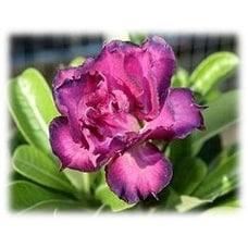 9GreenBox - Desert Rose Double Purple