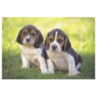 """Beagle puppies"" Poster Print"