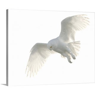 """""""Wild male snowy owl flying against white sky background, Payton, Colorado."""" Canvas Wall Art"""