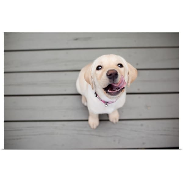 """""""Yellow Lab puppy with sticking out tongue."""" Poster Print"""
