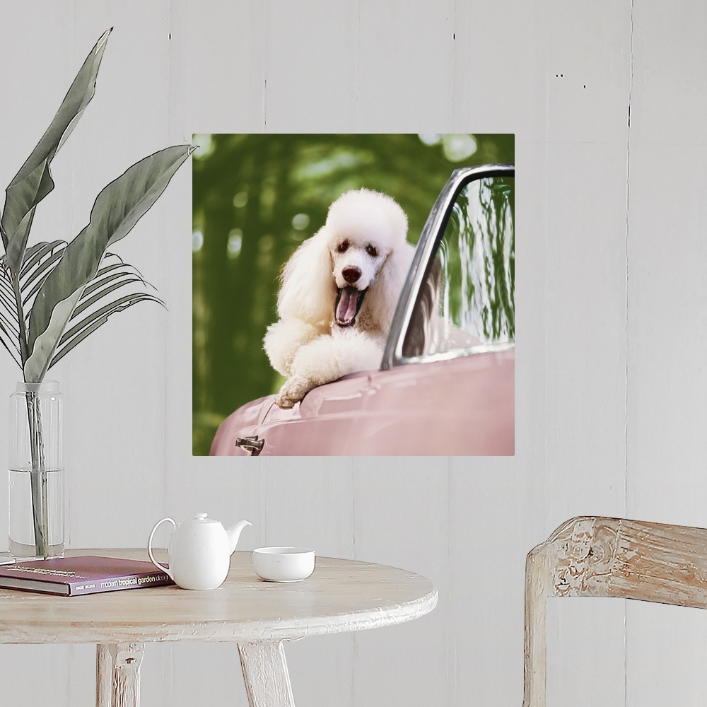Dog Home Decor White Poodle on pink convertible car Poster Art Print