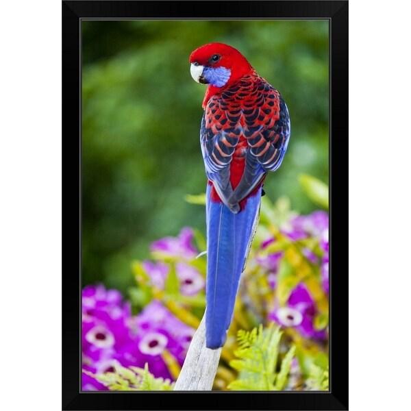 """""""Crimson Rosella"""" Black Framed Print"""
