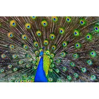 Peacock - LP Photography (Playing Card Deck - 52 Card Poker Size with Jokers)