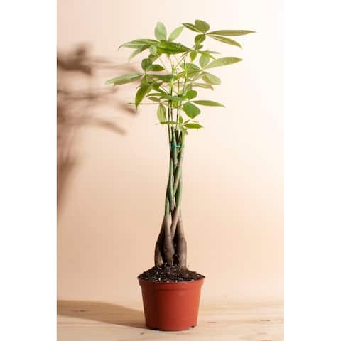 """Money Tree in 6"""" Grower Pot - Natural - 6 Inches"""