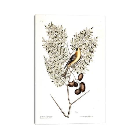 "iCanvas ""American Finch & Acacia Americana (Honey Locust)"" by Mark Catesby Canvas Print"