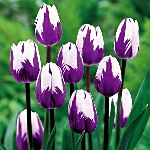 Blueberry Swirl Tulip Flower Bulbs - 20 Bulbs - 20 Bulbs