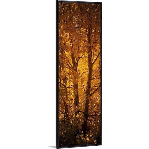 """Aspen trees in a forest, Californian Sierra Nevada, California"" Black Float Frame Canvas Art"