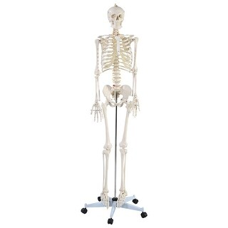 Costway Life Size Human Anatomical Anatomy Skeleton Medical Model + Stand - Off white