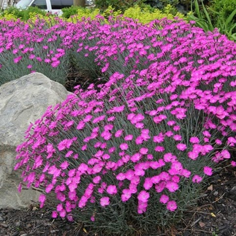 Creeping Thyme Pre-Seeded Flower Mat with Soil & Plant Food