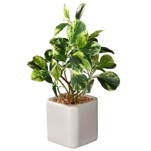 "10"" Jade Plant"