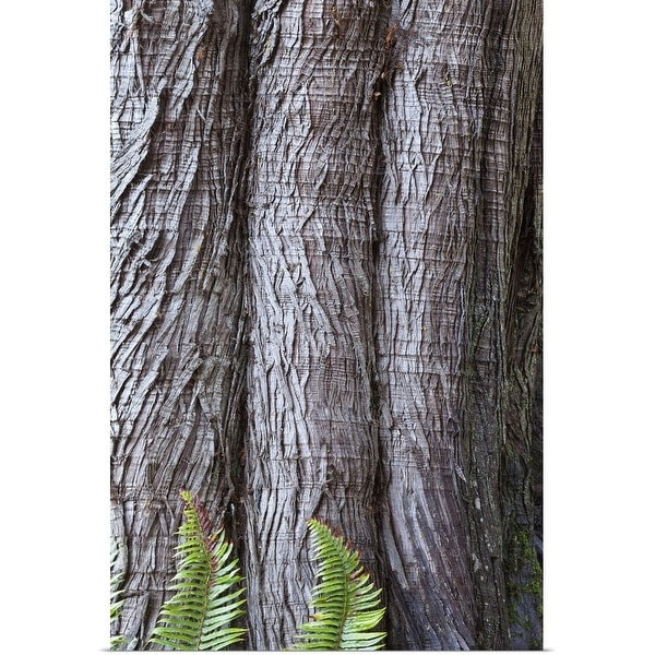 """Western red cedar Thuja plicata bark with Sword ferns Polystichum Munitum at base"" Poster Print"