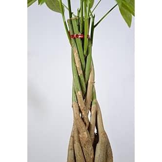 Money Tree Plants Braided Into