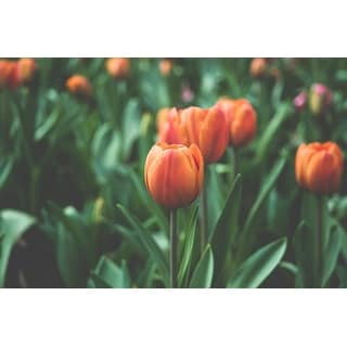 Tulip Flowers Canvas Wall Art Photograph