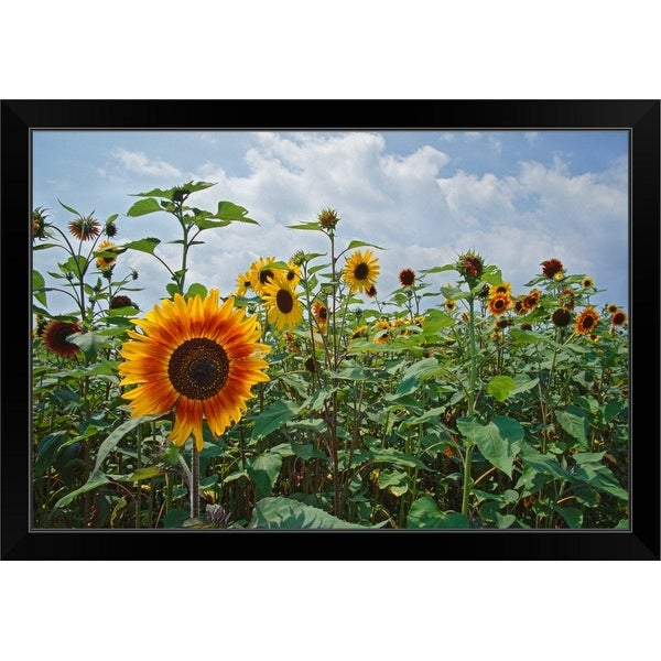 """Sunflowers (Helianthus annuus) blooming in field, New York"" Black Framed Print"