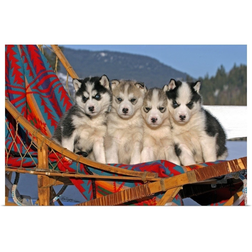 Four Siberian Husky puppies in a dogsled - Multi-color