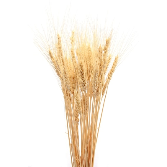 Dried Wheat Bunch - 8 oz blond 40-60 pieces Decorative Wheat -- Short stem single bunch - Natural. Opens flyout.