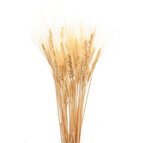 Dried Wheat Bunch - 8 oz blond 40-60 pieces Decorative Wheat -- Short stem single bunch - Natural