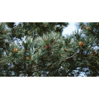 Pine Trees & Cones Photograph Art Print