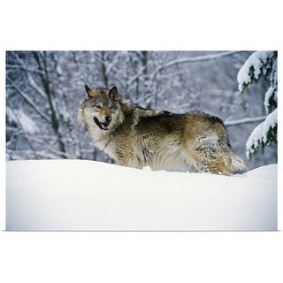 """""""Gray wolf in snow, Montana"""" Poster Print"""