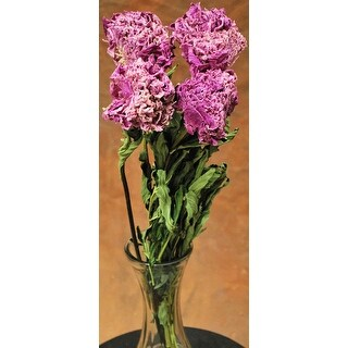 Dried Peonies Flowers Bunch Length 12-18 inches Bunch 5-6 flower stems per bunch Single Bunch - Dark Pink