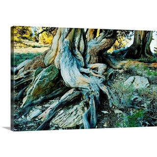 """Bristlecone pine grove at Ancient Bristlecone Pine Forest, California"" Canvas Wall Art"