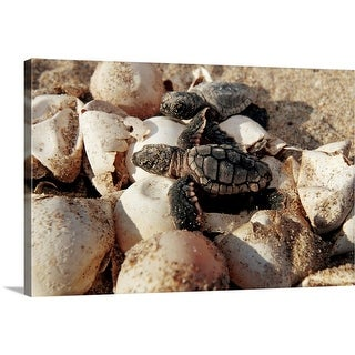"""""""Loggerhead turtle hatchlings crawling over eggs to get to open sea, Florida"""" Canvas Wall Art"""