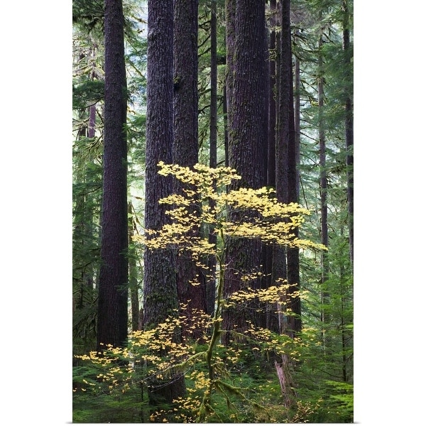 """""""Old-growth rain forest, Sol Duc Valley, Olympic National Park, Washington"""" Poster Print"""