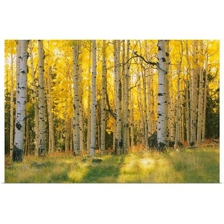 """""""Aspen trees in a forest, Coconino National Forest, Arizona"""" Poster Print"""