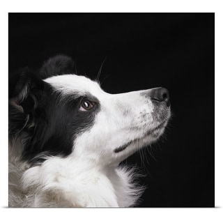 Poster Print entitled Border Collie looking up