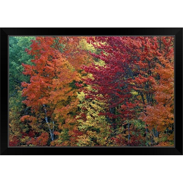 """Sugar Maple trees in autumn color, Michigan, USA"" Black Framed Print"