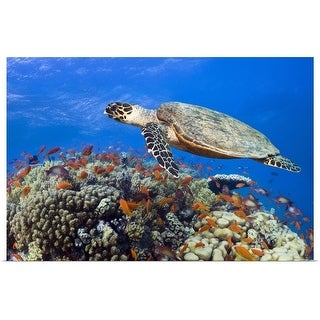 """""""Hawksbill sea turtle swimming near the coral reef"""" Poster Print"""