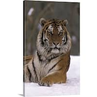 Premium Thick-Wrap Canvas entitled Siberian Tiger in the Snow - Multi-color