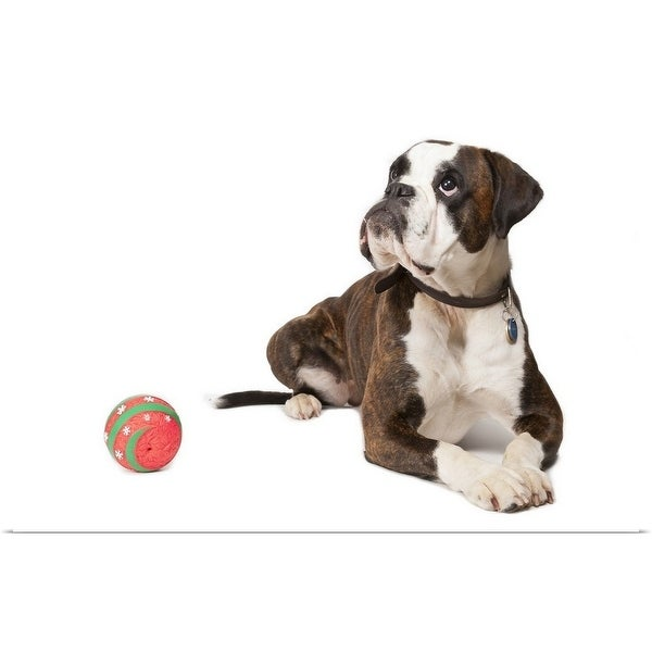 """Boxer dog lying on the floor with a red ball"" Poster Print"