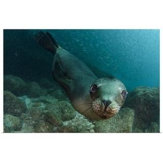 """California sea lion swimming in the ocean, Mexico"" Poster Print"