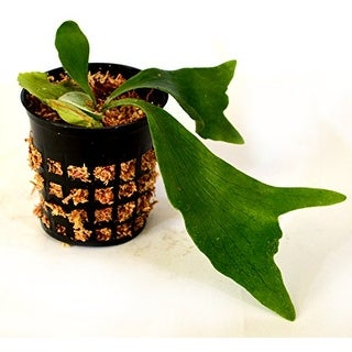 "Staghorn Fern 3.25"" pot - EXOTIC - Platycerium"