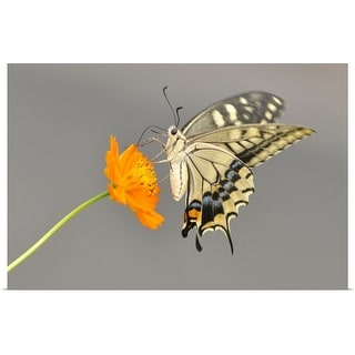 """""""Swallowtail butterfly on cosmos flower in japan."""" Poster Print"""