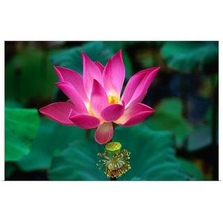 """Lotus flower, Indonesia"" Poster Print"