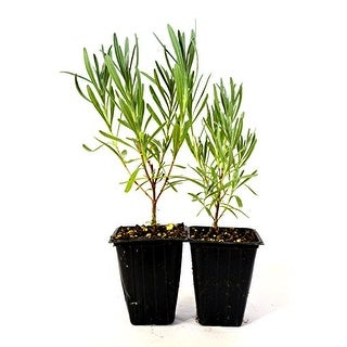 9GreenBox - Provence French Lavender - 2 Pack - Black