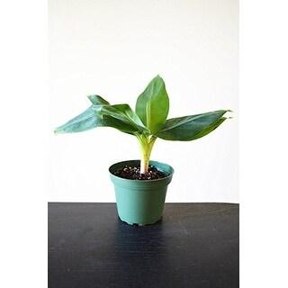 """9GreenBox - Tiny Musa Banana Tree - 4"""" Pot"""