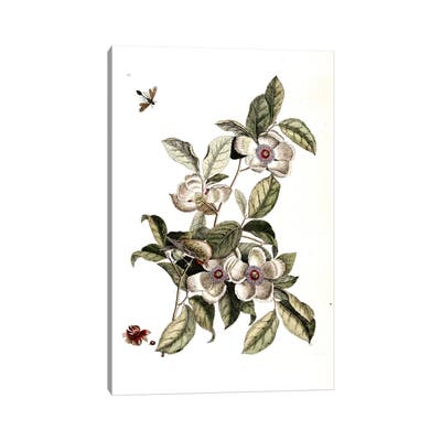 """iCanvas """"Goldcrest, Ichneumon Wasp & Silky Camellia"""" by Mark Catesby Canvas Print"""
