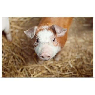 """Close up of piglet"" Poster Print"