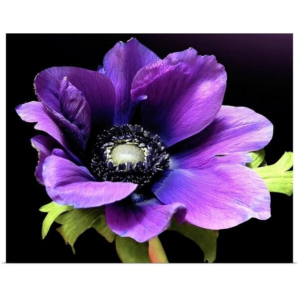 """Purple Anemone flower on black background."" Poster Print"