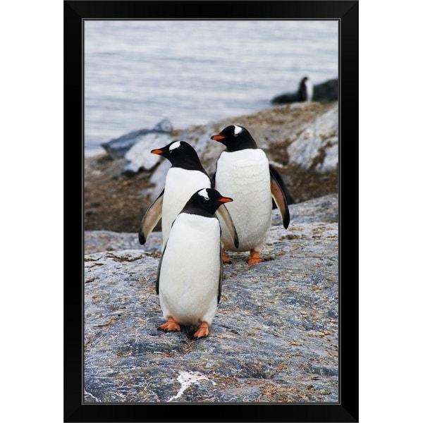 """Three gentoo penguins on rocky island, Antarctica."" Black Framed Print"